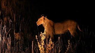 Oito leões envenenados no Quênia