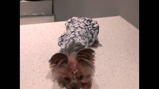 "2013-8-20 Teacup Yorkie, Ayla - ""Cover your eyes"" "" Head Down"""
