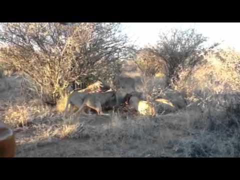 Lions Eating Impala