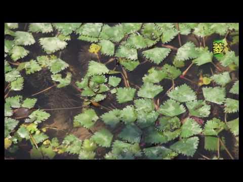 國小_自然_浮葉性植物【翰林出版_四上_第二單元 水生生物的世界】 - YouTube