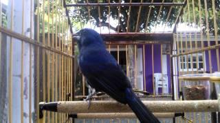azulão-AMMIL disputando canto com METRALHA.pássaro ainda em muda de pena.