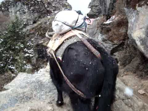 yak/buffalo make their way through the snow