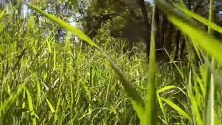 Walking Through 5 Foot Tall Grass in Minto Brown Park