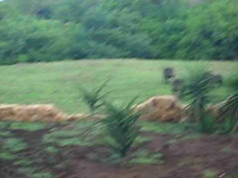 Warthogs playing