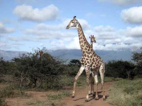 giraffe.MPG