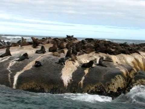 Fur Seals @ Duiker Island, South Africa