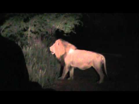 Lion at Night – Kruger National Park
