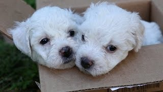 Bichon Frise Puppies In A Box