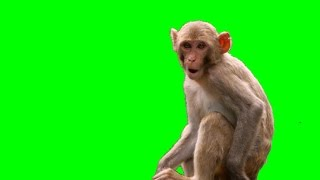 Monkey (Live Action) 4k Green Screen
