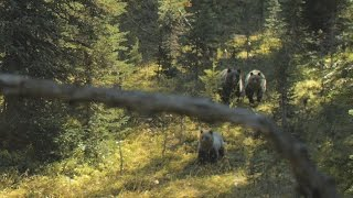 3 Grizzly Charge in BC