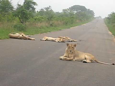 South Africa Kruger Park –  couple of lions laying on the main road. please move we wanna pass!