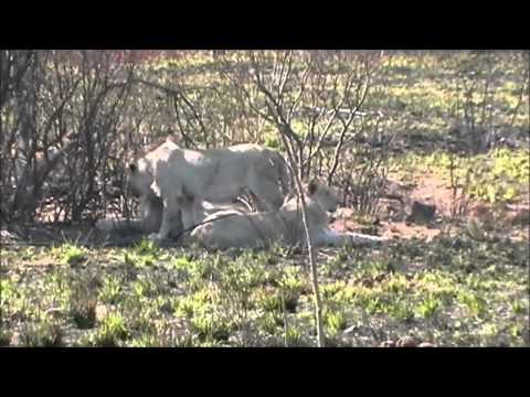 Wild White Lions – Bushveld Safaris