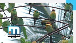 Flock Of Chestnut-headed Bee Eaters Set Up Base At LP School| Mathrubhumi News