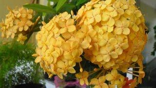 Mundo das Plantas: Ixora Flor
