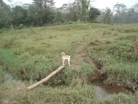 Chitwan Goat