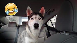 My Husky Reacts to Drive Thru Car Wash!