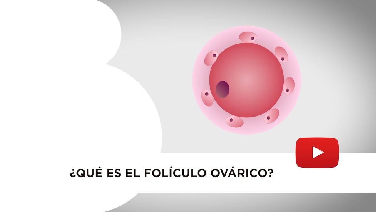Qué es el folículo ovárico. Cuál es su función y cómo se comporta