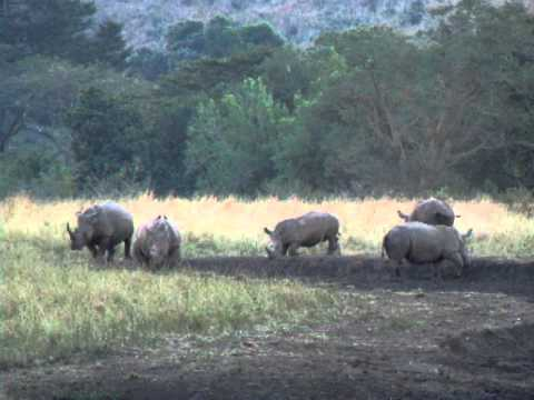 Video of 5 Rhino having a mudbath in Hluhluwe-Imfolozi Game Reserve