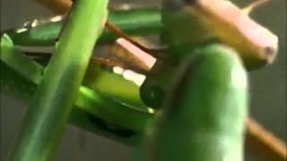 (A)Mantis Religiosa