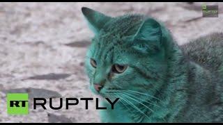 Bulgaria: Experts struggle to explain GREEN CAT