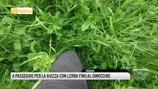 TG PADOVA (08/05/2018) - A PASSEGGIO PER LA GUIZZA CON L'ERBA FINO AL GINOCCHIO