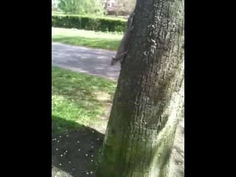 York Squirrel