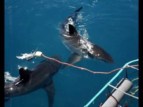 Great White Shark cage diving Hermanus_.wmv
