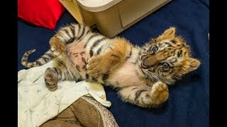 Confiscated Tiger Cub Doing Well