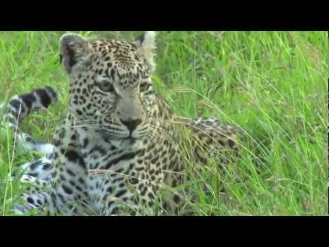 Leopards of Londolozi South Africa