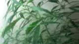 Marihuana indoor paraguaaya 6