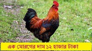 আজব খবর !! �ক মোরগের দাম ১২ হাজার টাকা - Latest Bangla News - Bangla Viral News Today HD
