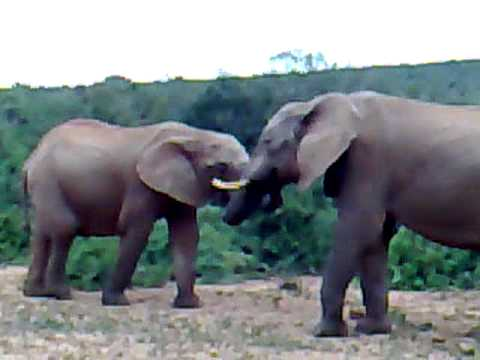 Elephants at Addo National Park, South Africa