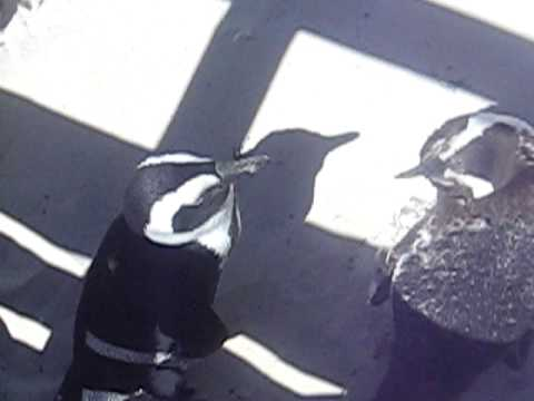 African Penguins Fighting