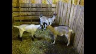 goats being weaned