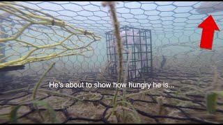 GroPro Footage in a Crab Trap – Boca Grande, Florida