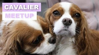 CAVALIER KING CHARLES MEETUP | Herky and Milton in Toronto