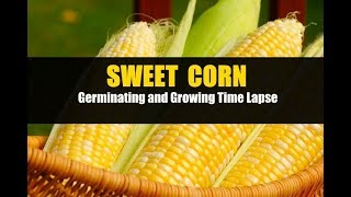Sweet Corn Germination and Growing Time Lapse allotment