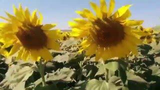 Waltz of Sunflowers   Dmitri Shostakovich   The second waltz