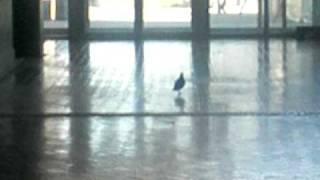 Přítomnost holubů na Université Paris 8 Vincennes