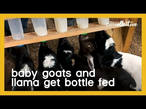 Baby Goats and Llama Rush Indoors to be Bottle Fed