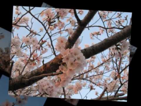 Cherry Blossom Photo Video by Mirza Hasanuzzaman
