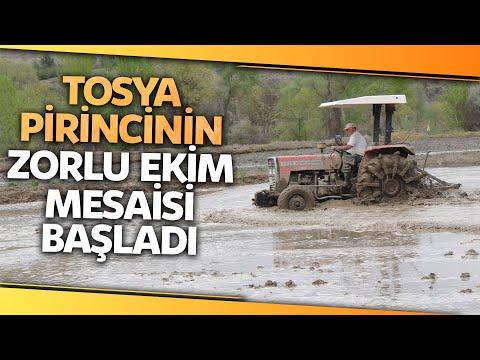 Tosyalı Çiftçiler, Tescilli Lezzet Olan Çeltik Ekimine Başladı