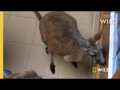A Red Kangaroo With a Bad Tooth | The Incredible Dr. Pol: