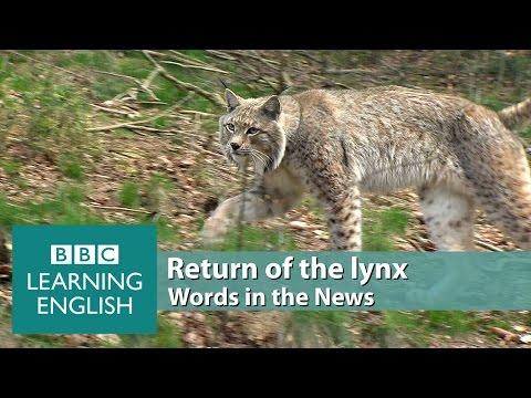 Return of the lynx. Learn: elusive, predator, ecosystem, pose a threat, livestock