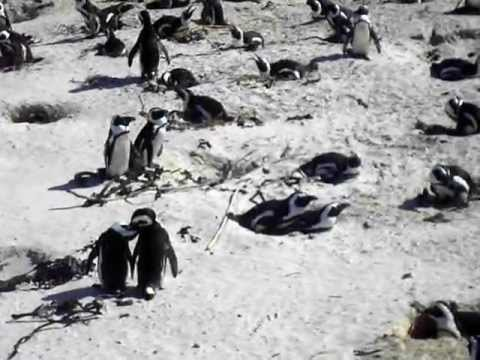 Penguins in CapeTown!!