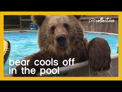 Bear Goes for Swim in Pool