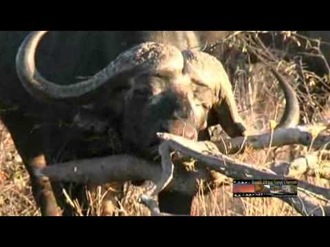 Buffalo – South Africa Travel Channel 24