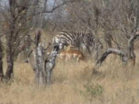 Zebry w Parku Krugera