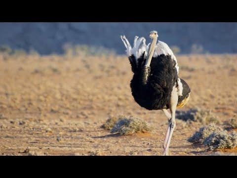 Simp level: ostrich