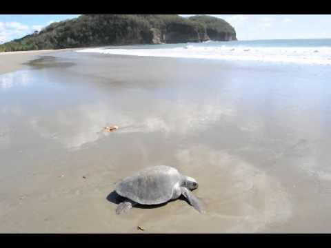 Green Turtles laying eggs on Mansanillo Beach